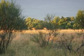 Kangaroos at Dawn