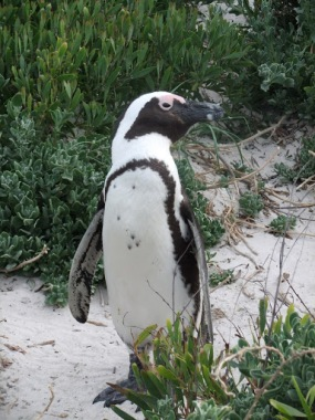 Fairy Penguins near Cape Town