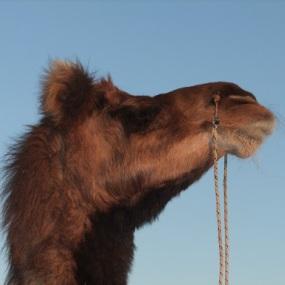 Mumtaz, my dancing camel