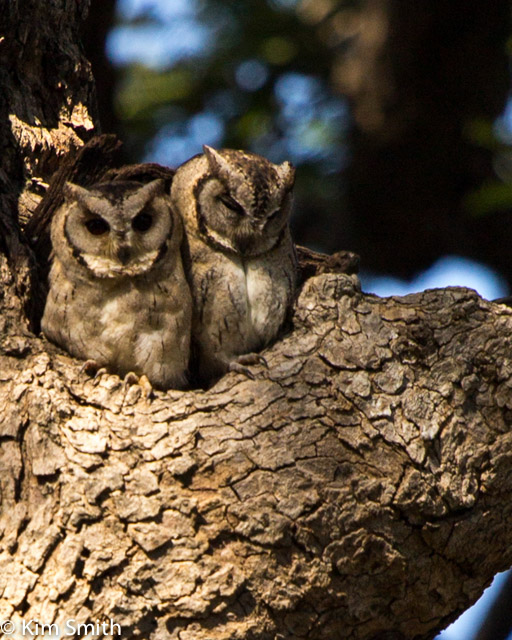 Sleepy owls.