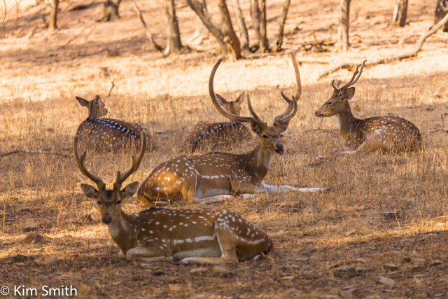 Spotted deer. The males are getting ready for the rutting season but their antlers are still mostly velvet covered.