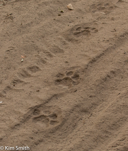 Tigers pug marks - too bad I didn't show my hand print to give perspective - they are really big!