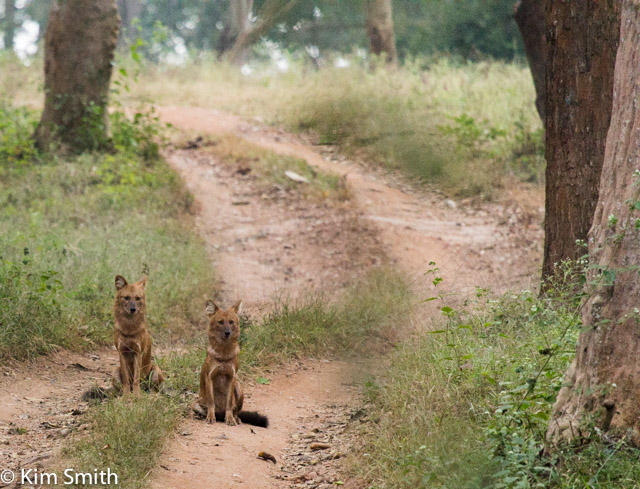 A very rare Dhole (wild dog) sighting in Nagarahole