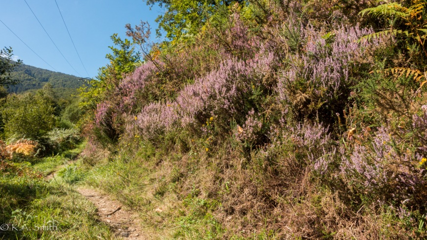 These sun drenched alleys are festooned with heather.